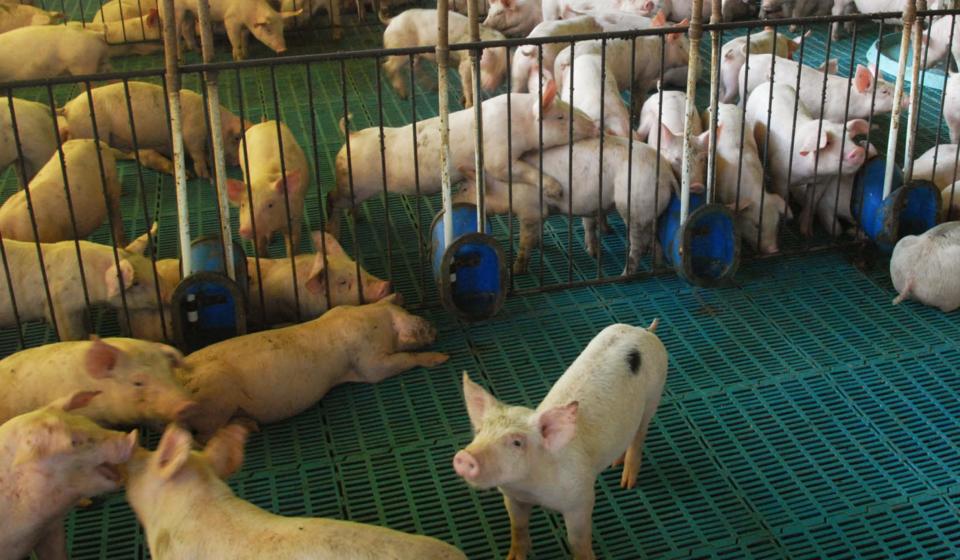 Paraná reduz de 12% para 6% o ICMS na comercialização de suíno vivo. Foto: Foto Jonas Oliveira